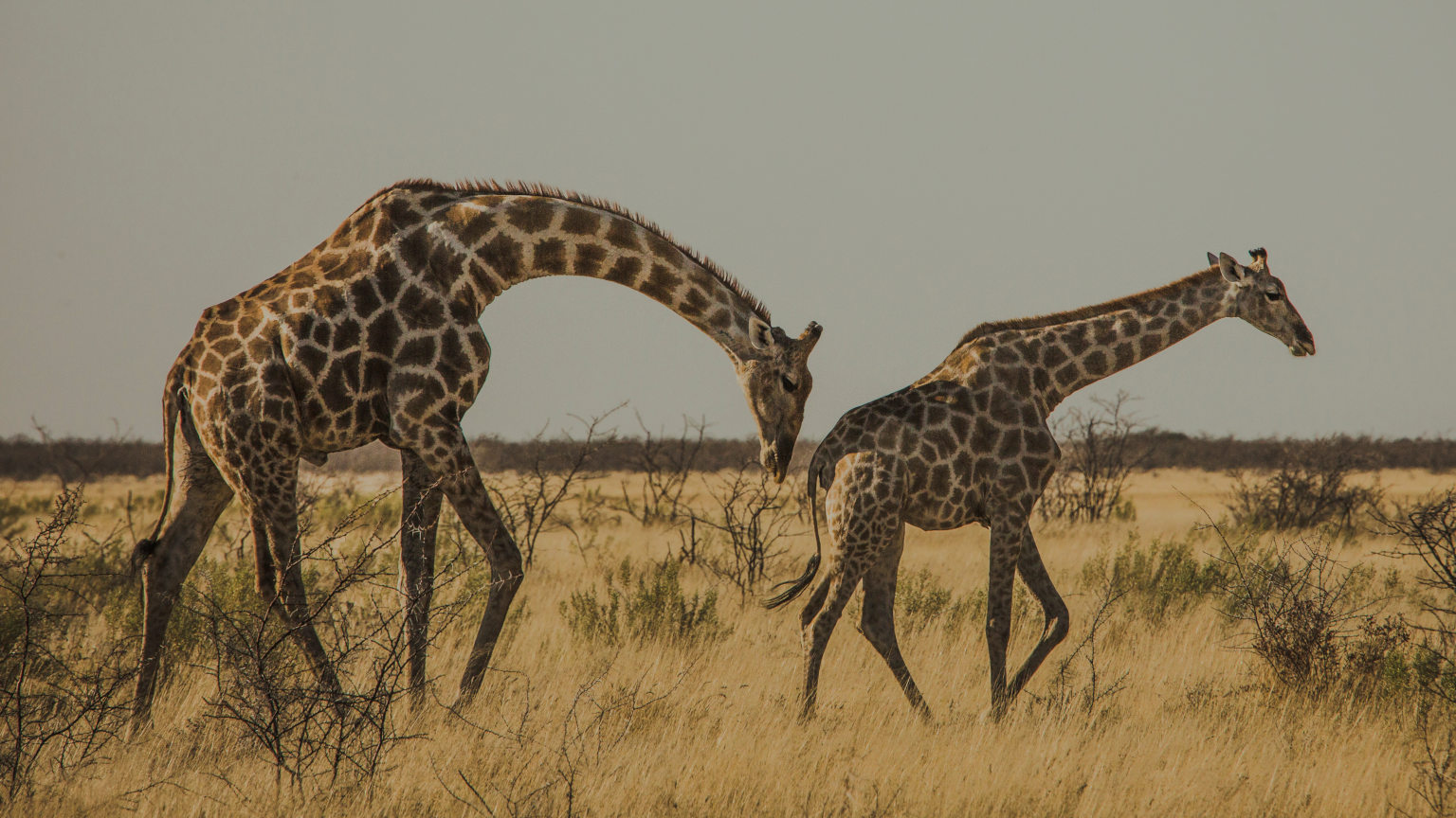 Namibia-Etosha-National-Park-Wildlife-Safari-Drive-Giraffes-Oana-Dragan