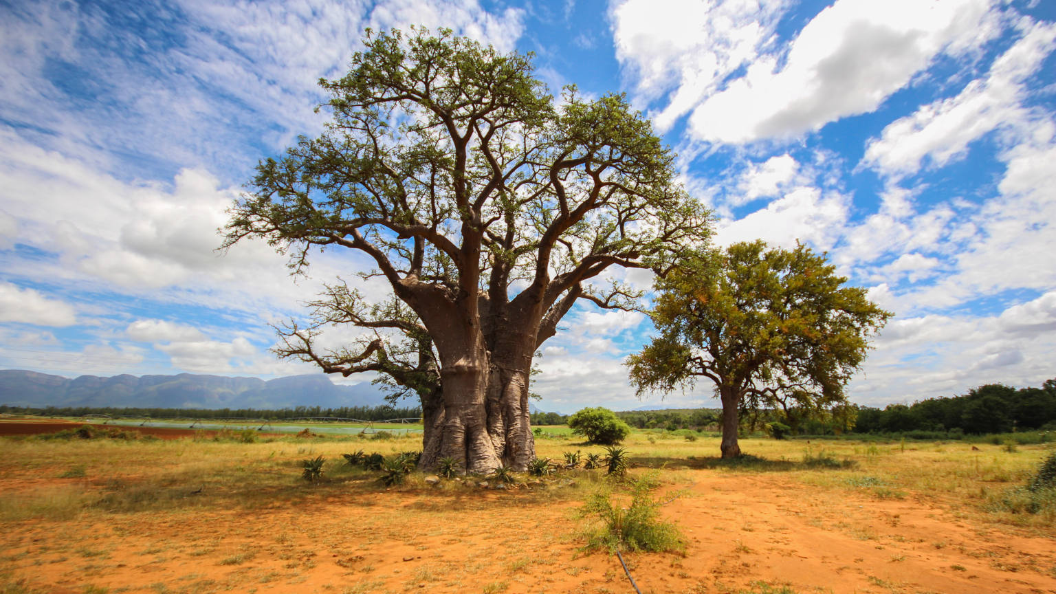 South-Africa-Kruger-National-Park-Baobab-Tree-cropped