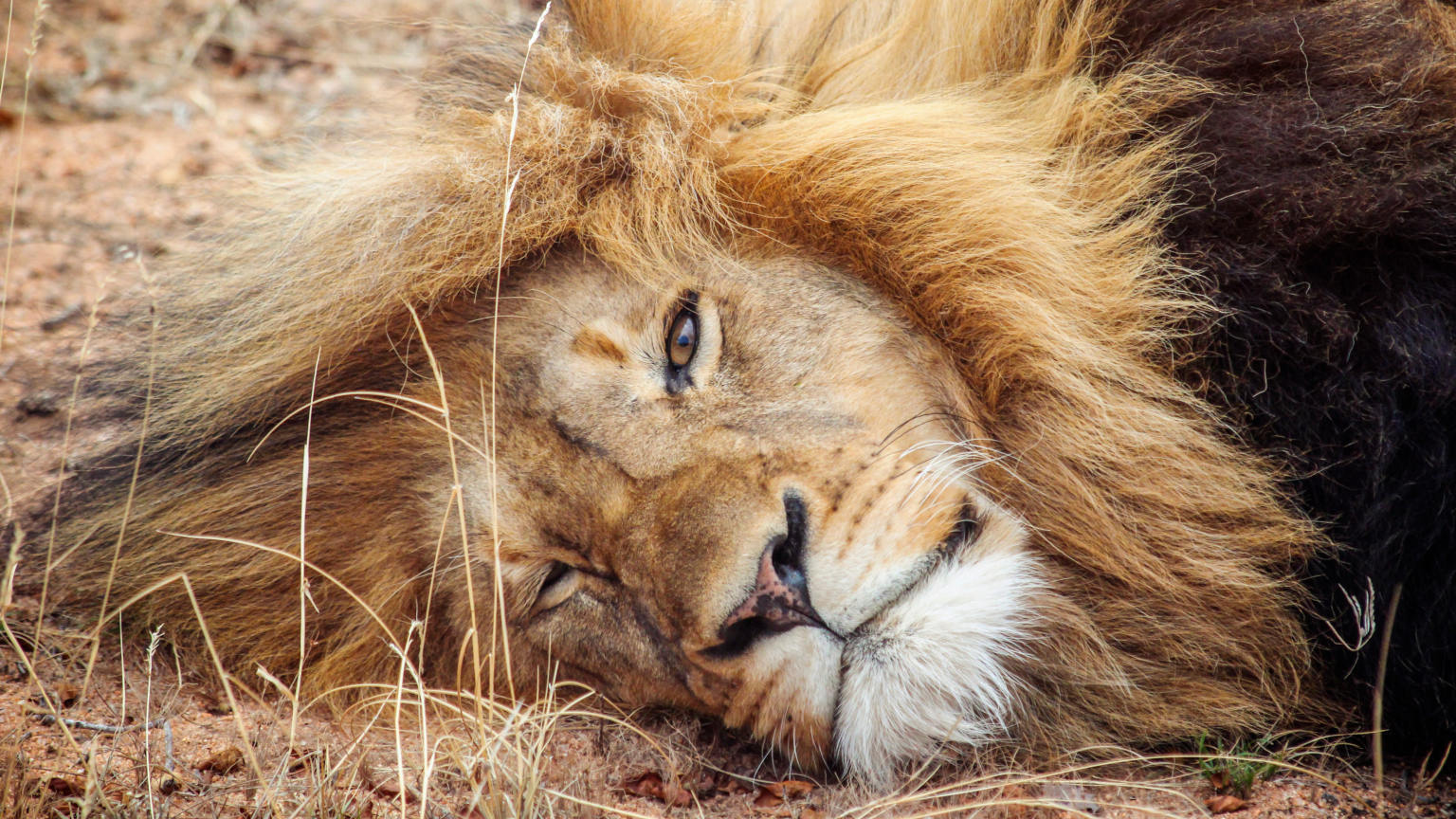 South-Africa-Lion-cropped