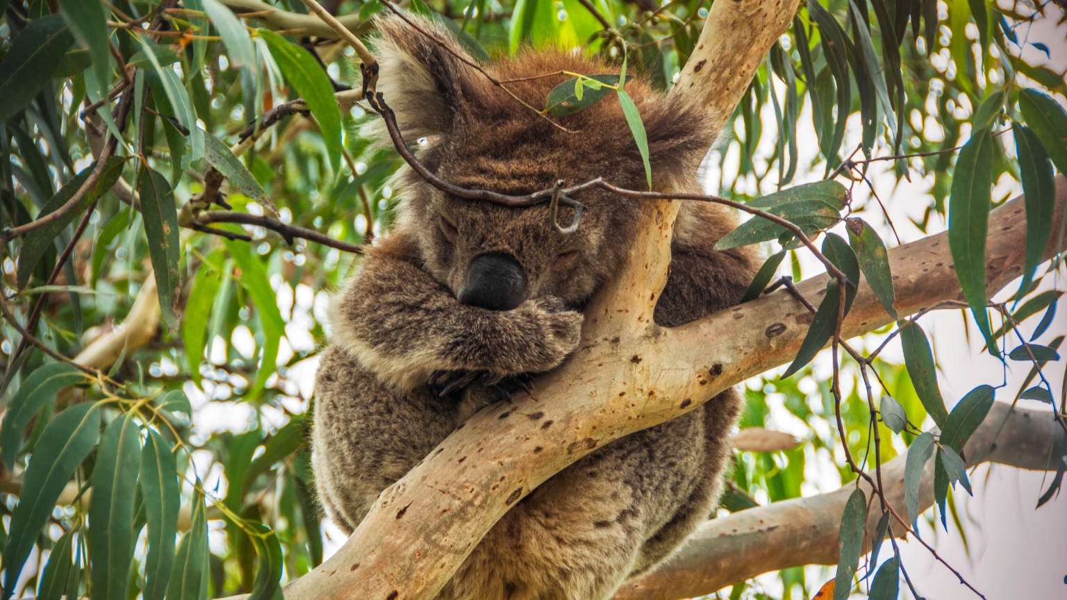 Koalas asleep in the trees near Kennett River, Great Ocean Road.