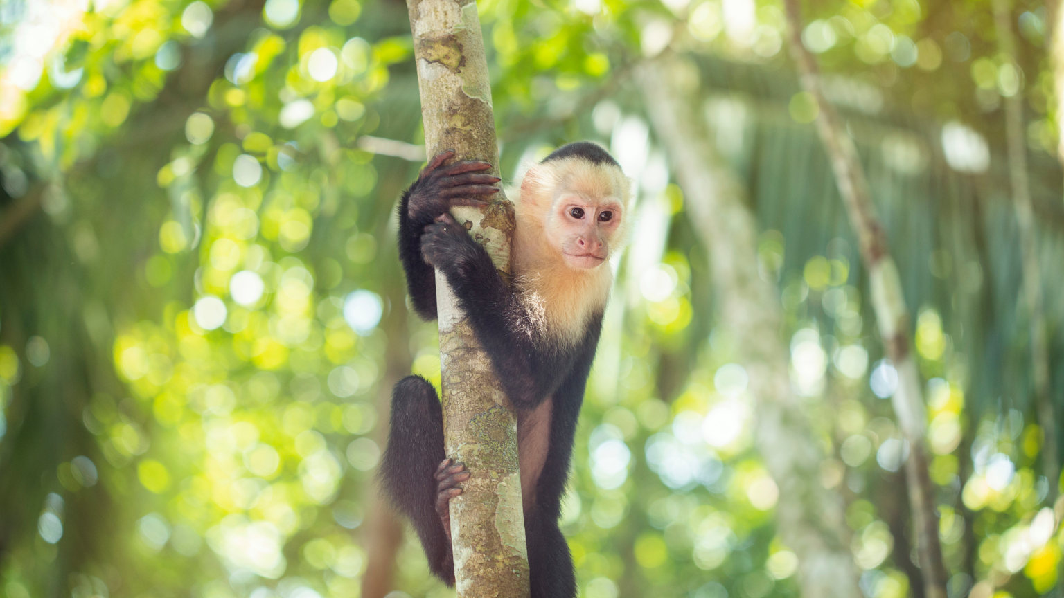 Costa-Rica-Manuel-Antonio-National-Park-White-Faced-Monkey