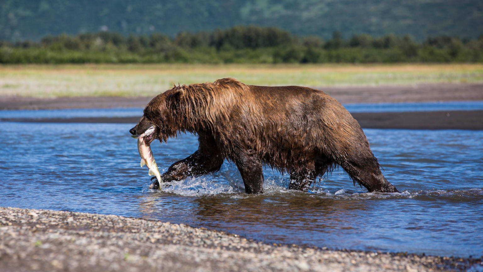 Alaska Katmai National Park Grizzly Bear
